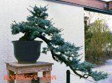 BonsaiSite.com: Bonsai from the U.S. National Arboretum