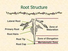 Basic plant botany applies to bonsai because understanding the funtion of every part of your bonsai is crucial to keeping them healthy and strong. Plant Science, Science And Nature, Ficus, Plant Lessons, Root Structure, Plantas Bonsai, Bonsai Garden, Bonsai Trees, Nature Study