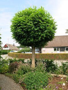 Bildresultat för Klotrobinia Villa, Chelsea Flower Show, Garden Trees, My Dream Home, Garden Landscaping, Garden Design, Pergola, Herbs, Landscape