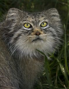 Pallas Cat | Flickr - Photo Sharing!