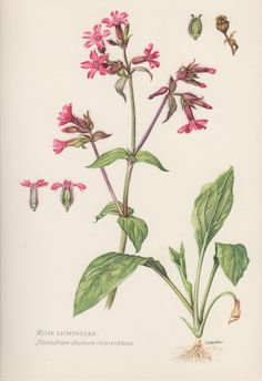 1954 Red Campion Vintage Botanical Print Lithograph by Craftissimo