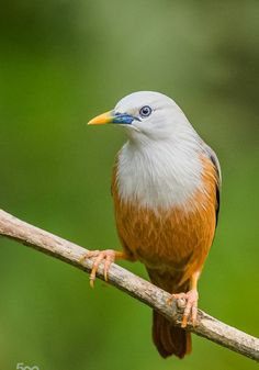 Birds in Thailand: Chestnut tailed Starling