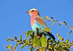 The national bird of Botswana - Lilac Breasted Roller - photo taken by J. Chobe National Park, National Parks, Lilac Breasted Roller, Bird Species, Woodland, Safari, Photographs, Wildlife, Elephant