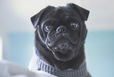 5 Simple Tips for Indoor Pug Photography http://www.thepugdiary.com/5-simple-tips-for-indoor-pug-photography/