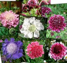 Heirloom Scabiosa Flower Plant Seeds