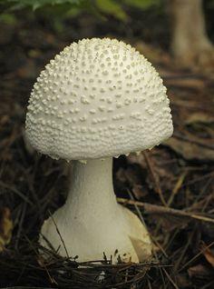 pristine mushroom - photo by Rupert Jayrod