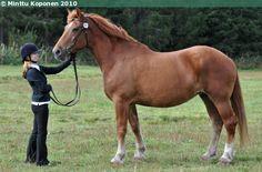Estonian Draught - mare Eti