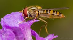 Hoverfly.jpg by pwiles1968. @go4fotos