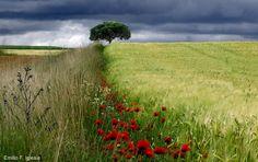Wheat & Poppy by Emilio Fau Iglesia on 500px