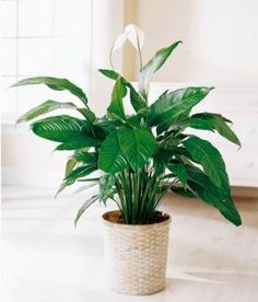 A peace lily in the bedroom is a must. A great air purifying plant. A peace lily in the bedroom is a