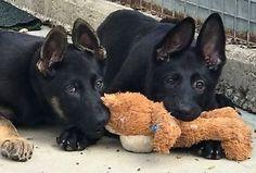 Gsd Puppies German Shepherd Puppies Gsd Puppies Puppies