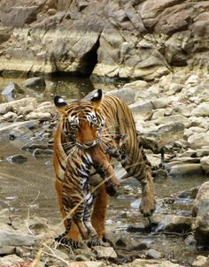 Mama tigress carrying infant cub directly in front of guests on Nat Hab's India wildlife photo safari Safari Jeep, India Tour, Close Up Photos, Animals Images, Life Photo, Natural World, Amazing Nature, Wonderful Images, So Little Time