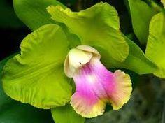 orchidee salbatice - Căutare Google