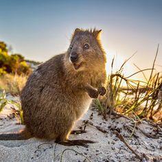 Quokka found in western Australia, this marsupial is
