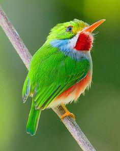 Amazingly beautiful, tiny, colorful  Cuban tody!
