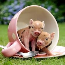 Image result for baby pigs