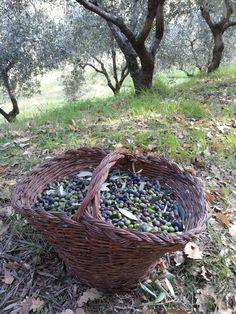 Amusing olive harvesting today