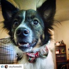 Check out this cutie in his very first #thRUFFtyPup bow tie!! Looking good! #repost @skyflores95 with @repostapp. ・・・ Wookie looks HANDSOME with his new bow!! Thank you so much @thruffty_pup !!! #dogsofine #dogsofinstagram