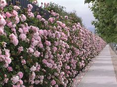 Entire Hedge of the Rose ' Constance Spry ""