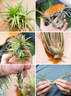 How to Properly Care for Air Plants