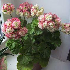 appleblossom rosebud pelargoniums