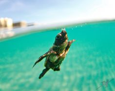 Amazing! Baby sea turtle, first time at sea! One of my favorites from awesome  photographer Ben Hicks!