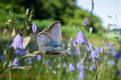 Common Blue Butterfly with harebells http://www.warrenphotographic.co.uk/20260-common-blue-butterfly-with-harebells