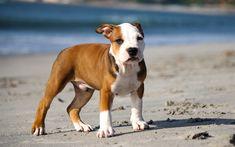 Télécharger fonds d'écran pit bull terrier, blanc brun chiot, petit chien, animaux mignons, les animaux de compagnie, chiots