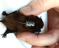 New Zealand bats are fully protected by the Wildlife Act and their habitats are also protected by the Resource Management Act There are a variety of conservation efforts being undertaken to protect bats/pekapeka – New Zealand's only native land mammal. Bat Species, Resource Management, Bats, Conservation, Mammals, Habitats, Nativity, Wildlife, Animal