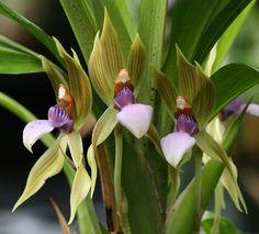 Chaubardia heteroclita 'Green Godess'; by Steve Beckendorf, via Flickr