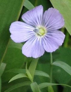 Florzinha da semente de linhaça.