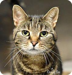 Philadelphia, PA - Domestic Shorthair. Meet Biscuit, a cat for adoption. http://www.adoptapet.com/pet/16341975-philadelphia-pennsylvania-cat
