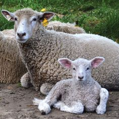 The British Lincoln Longwool is bred for its lustrous coat, massive size, and delicious hogget. Brian Larson, Sheep Breeds, Lambs, Livestock, Lincoln, Homestead, British, Luxury, Coat