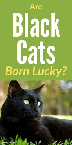 Why are black cats lucky, and are they actually born with good luck? Discover facts and popular myths surrounding these beautiful felines Black Cat Breeds, Interesting Facts About Yourself, Cat Body, Black And White Tuxedo, Cat Perch, Egyptian Goddess, Cat Behavior, Cat Facts, So Much Love