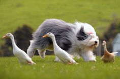 Google Afbeeldingen resultaat voor http://www.takethedogs.com/blog/wp-content/uploads/2012/01/Old-English-Sheepdog.jpg