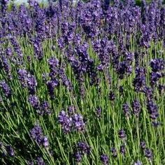 Hardy and long flowering, they are easy to grow and beautiful flowering shrubs. Garden Beds, Garden Plants, Hello Hello Plants, Lavandula Angustifolia, Burgundy Flowers, Flowering Shrubs, Plantation, Types Of Plants, Korn