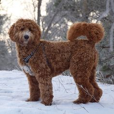 The weekend is almost on #tgif  Have a pawsome Friday my friends  #labradoodlesofinstagram #australianlabradoodle #dogsofinstagram  #dogsofinstaworld #puppiesofinstagram #pupswithattitude #labradoodle #hundvalp #dogoftheday #ilovemydog #hund #labradoodlevalp #labradoodlepuppy #lovemydog #sweden #stockholm #puppygr4m #doodlelife #topdogphoto #thedoggycalendar #härligahund #lacyandpaws  #oodlesoftheworld #igscandinavia #igsweden #thebestofscandinavia #ilovescandinavia #thedogist by…