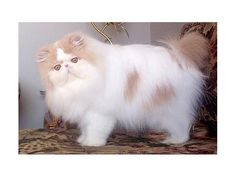 Newest cat breeder at www.breeders.ca : Oceanpurrls Cattery - Persians