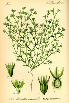 SCLERANTHUS. Escleranto (Scleranthus annuus) Indecisión entre dos extremos opuestos.Inestabilidad emocional. GRUPO: Para los que sienten incertidumbre