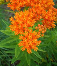 30 ORANGE BUTTERFLY MILKWEED Asclepias Flower Seeds