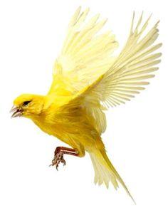 Canário Amarelo em pleno voo #aves passarinhos de verdade