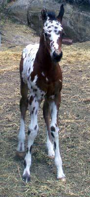Appaloosa-Paint foal WOW!!! That is one unique coat color!!!