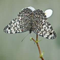 ~~Gray Cracker Butterfly by annkelliott~~