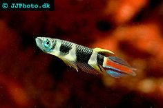 Clown Killifish. Clown Panchax - Pseudepiplatys annulatus picture