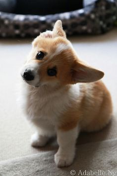 Lovable Pembroke Welsh Corgi Puppy :) and they are all lovable no matter their age! Cute Baby Animals, Animals And Pets, Funny Animals, Cute Puppies, Cute Dogs, Dogs And Puppies, Teacup Puppies, Puppies Tips, Corgi Dog