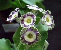 'Stepney Green' Auricula [Family: Primulaceae]; Shown and  Photographed by Henry Pugh at the Knowle Auricula Show,  April, 2012