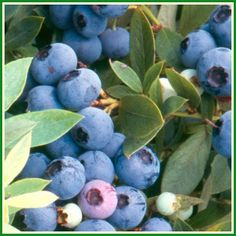 The Amazing Benefits of Blueberries add A Few When You Juice