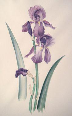 iris on watercolor