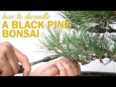 How to Prune and Decandle your Black Pine Bonsai - YouTube