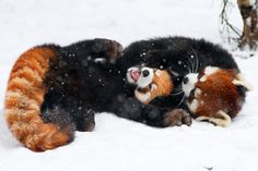 Red pandas wrestle in the snow